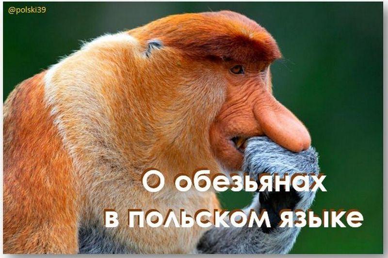 Об обезьянах в польском языке
